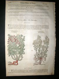 Gerards Herbal 1633 Hand Col Botanical Print. Red & Wild Madder, Sea Grape